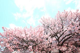 向島寒桜2.jpg