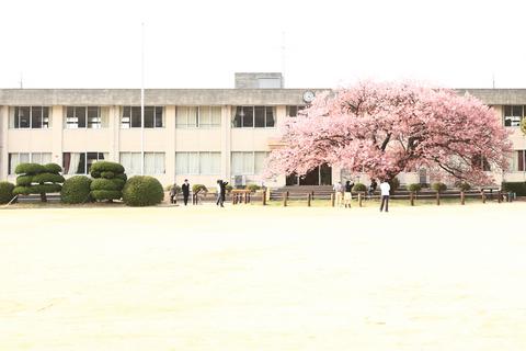 向島小蓬莱桜1min.jpg